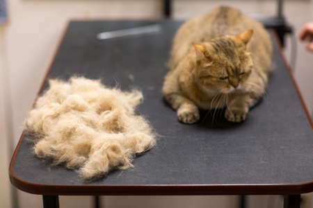 Cat and Pet grooming fur in beauty salon.