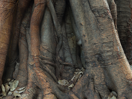 enormous: Gigantic old tree stem with enormous root and dead leaves Stock Photo