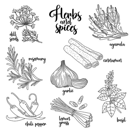 Spices and herbs set to prepare delicious healthy food. Contour botanical illustration on white background with dill seed, rosemary, chili pepper, arugula, garlic, cinnamon, basil, lemongrass.