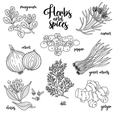 marjoram: Spices and herbs set to prepare delicious and healthy food. Contour botanical illustration on white background with marjoram, onion, cloves, pepper, cumin, ginger, green onions, dill.