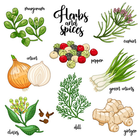 Spices and herbs set to prepare delicious and healthy food. Colored botanical illustration on white background with marjoram, onion, cloves, pepper, cumin, ginger, green onions, dill.