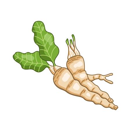 Kren farbige botanische Illustration. Produkt zur Vorbereitung leckeres und gesundes Essen. Isoliert auf weißem Hintergrund. Vektorgrafik