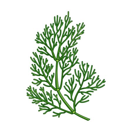 Dill spice vector realistic colored botanical illustration. Product to prepare delicious and healthy food. Isolated on white background. Ilustração