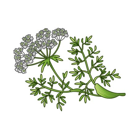 Caraway seeds spice vector realistic colored botanical illustration. Product to prepare delicious and healthy food. Isolated on white background.