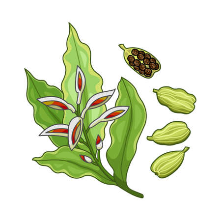 Cardamom spice vector realistic colored botanical illustration. Product to prepare delicious and healthy food. Isolated on white background.