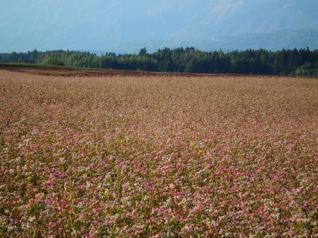 Buckwheat field on lat summer photo