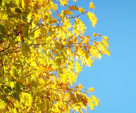 Golden autumn leaves on tree