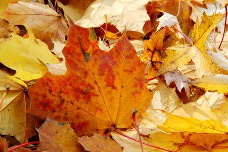 Leaves of maple in autumn sun