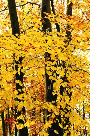 Golden leaves in autumn beech forest