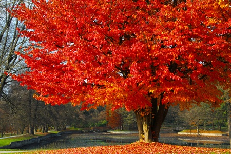 Red tree and a park behind in autumn day