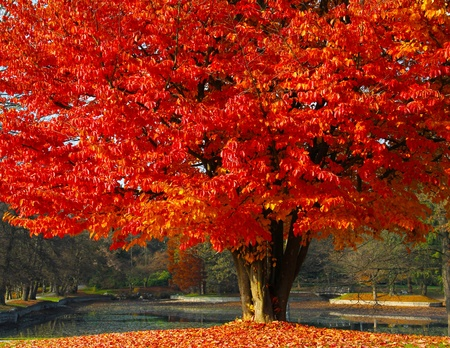 Red autumn tree with a beautiful park behind in an autumnn day. photo