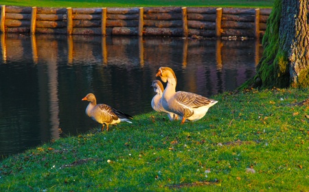 Beautiful geese near the lake. photo