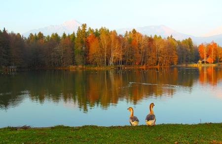 Beautiful geese near the lake where ducks swin in autumn day. photo