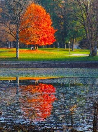 Beautiful autumn red tree reflects itself in swamp like lake on sunny autumn day. Standard-Bild