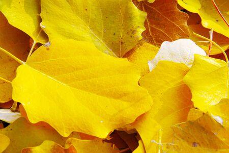 Golden leaves in autumn sun.