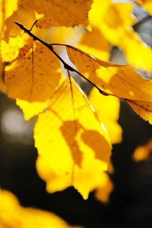 Golden leaves in autumn vivid light. Stock Photo