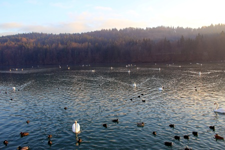 Swans, ducks and black headed gulls on the lake in winter. photo