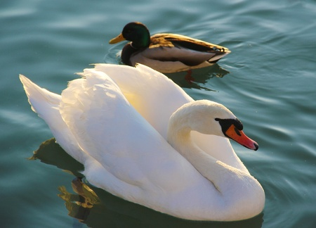 A male mallard and white swan on the lake. Stock Photo
