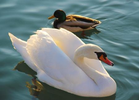 Eine männliche Stockente und weißer Schwan auf dem See.