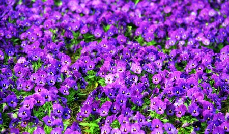 Purple violets pillow in the park
