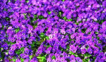 violeta: Violetas almohada púrpura en el parque