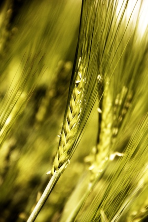 Young barley on the field  photo