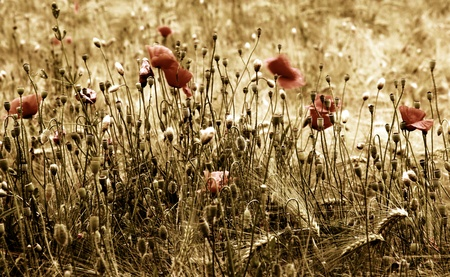 Red poppy on the field of barley  photo