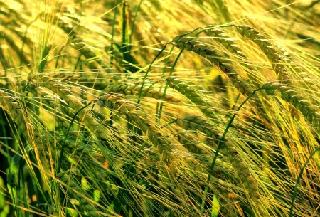 Young barley in sun light Stock Photo - 14234097