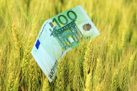 expensive food: Paper money in the wheat  A concept of growth, sucess or expensive food  Stock Photo
