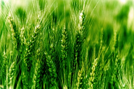 Young wheat on the field  photo