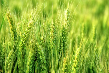 Young wheat  photo