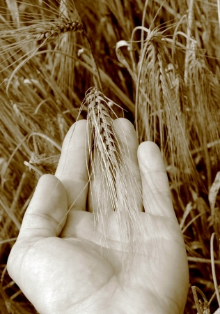 A hand in the barley  photo
