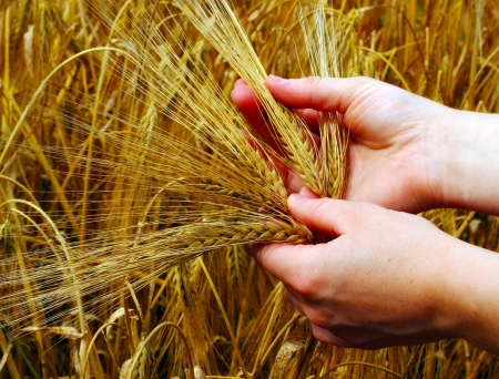 Barley on the field, prepared for harvesting  Hand holding it  photo