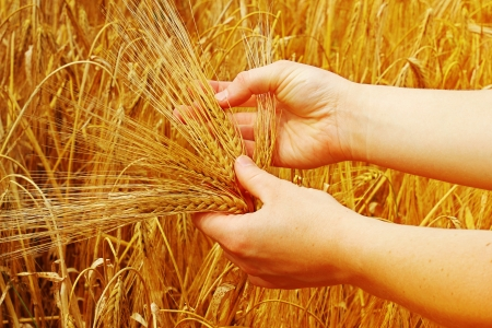 Hands touching, holding young barley  photo