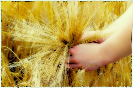 Beautiful hands in preharvested barley on the field Stock Photo - 14234113
