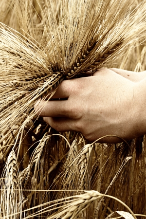 Hands holidng grain before harvesting