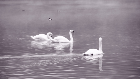 Swans on the winter lake  Stock Photo