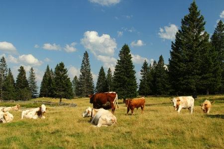 Cows on the pasture  photo