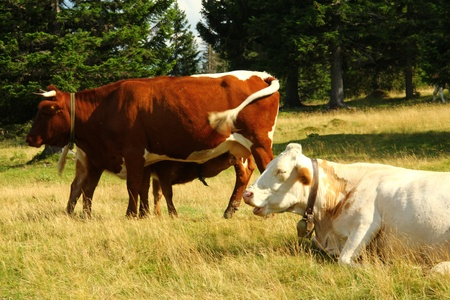 Cows on the pasture  Stock Photo