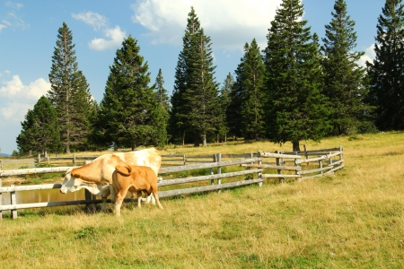 Young calf and cow on the pasture  Stock Photo