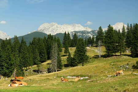 Cow herd on high mountain pasture Standard-Bild