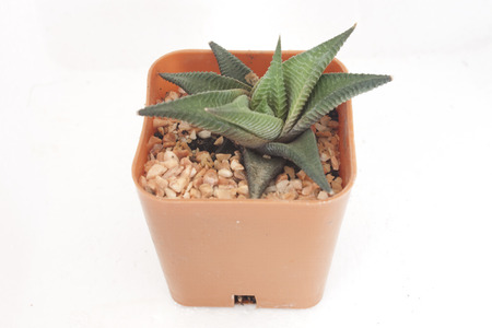 dyckia: Flowers are small, spiny pineapples grown in pots  Stock Photo