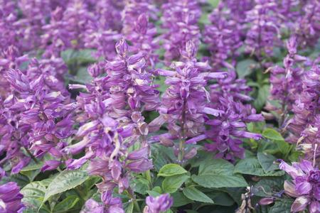 show garden: Salvia purple flowers in the flower show garden in Thailand