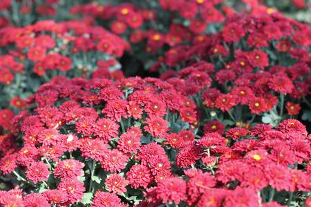 red gerber daisy: Gerbera red flower