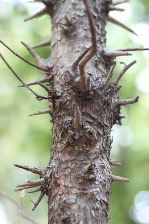 trees with thorns: thorns tree