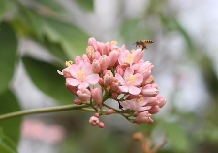 stamin: pink Ixora small pink soft background