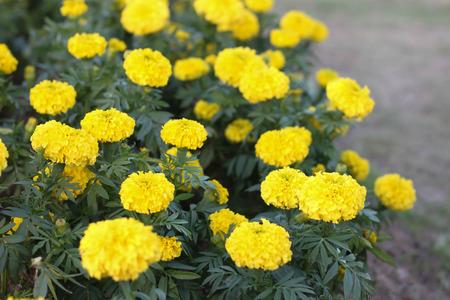 garden marigold: Marigold petite yellow flowers in garden