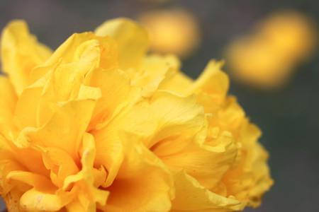 sch: big Flowers yellow flowers closeup.