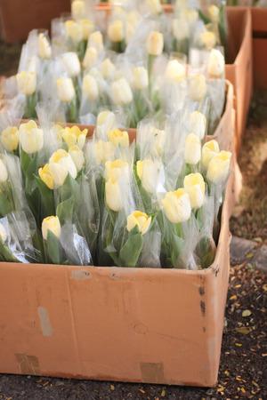Tulips yellow brown box. Stock Photo