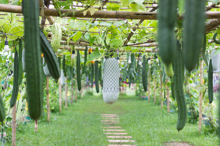oka: planting gourd and ivy plant